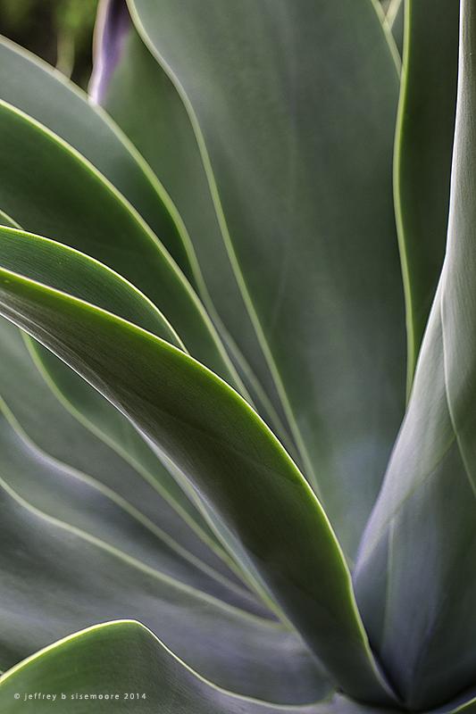 agave I
