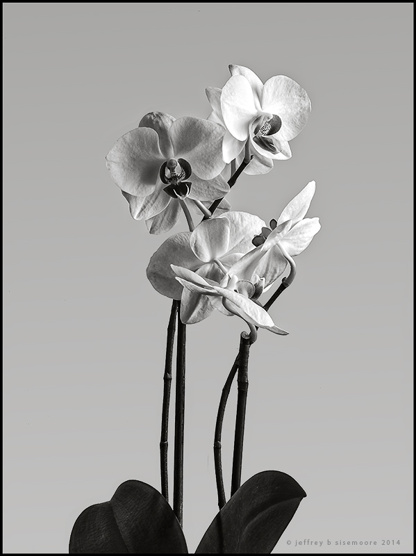orchids in black and white
