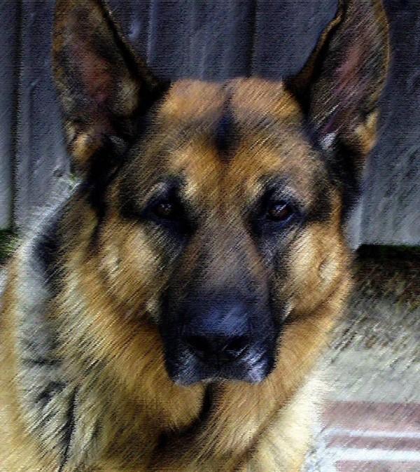 Male German Shepherd Dog