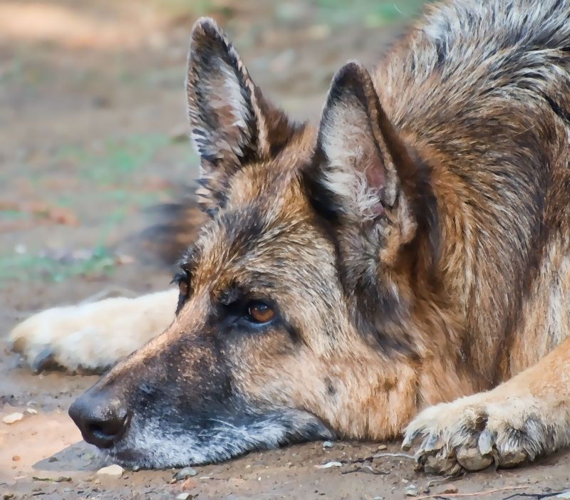 German Shepherd Dog relaxing in the dirt
