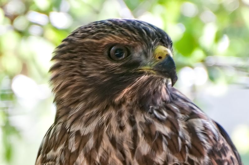 Fledgling Red Tail Hawk