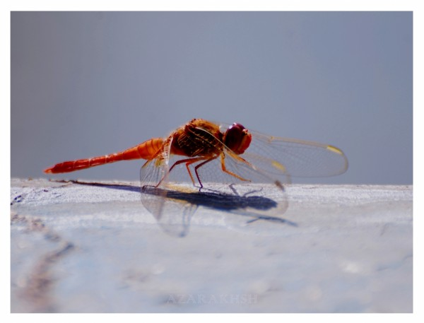 Red Dragon-fly