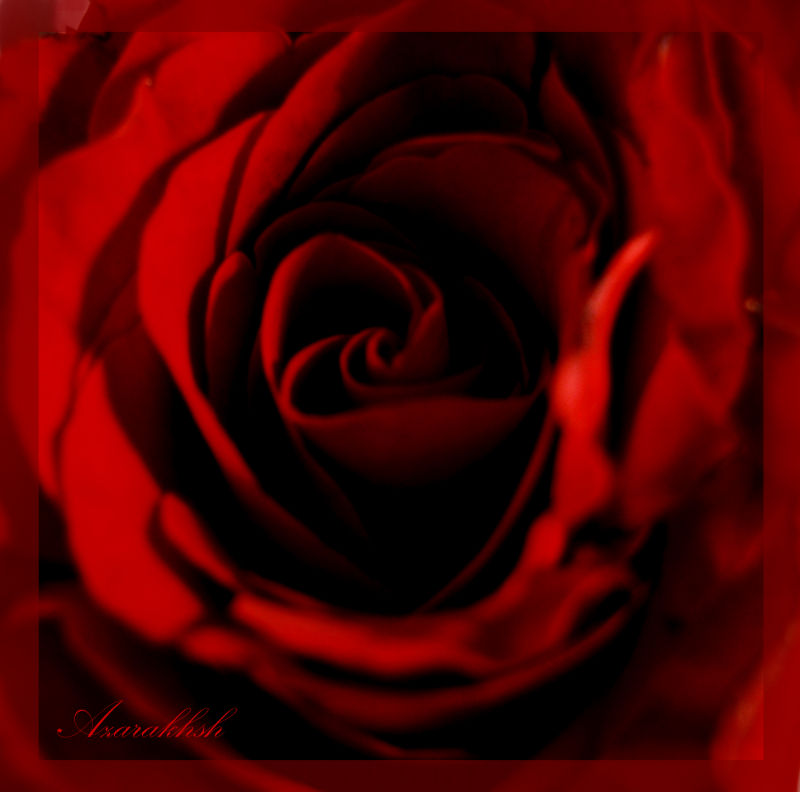 red of roses