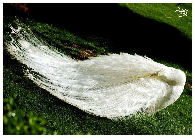 Peacock The Bride