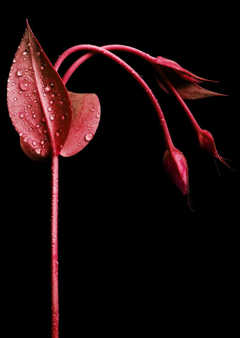 flower, red , water drop,
