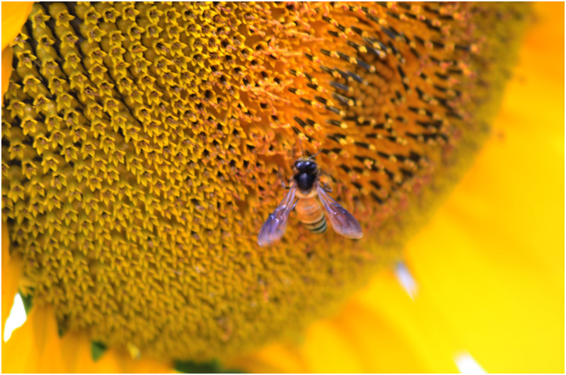 Bee and the flower