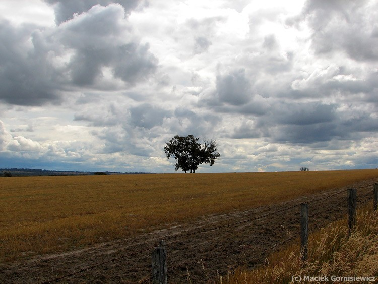 Lonely tree in outback Australia