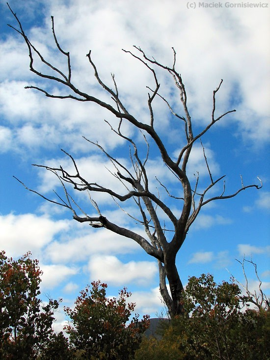 Barren tree in Stirling Ranges.