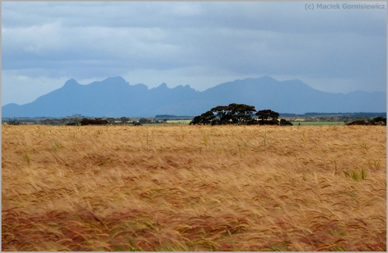 Wheat fields near Stirling Ranges.