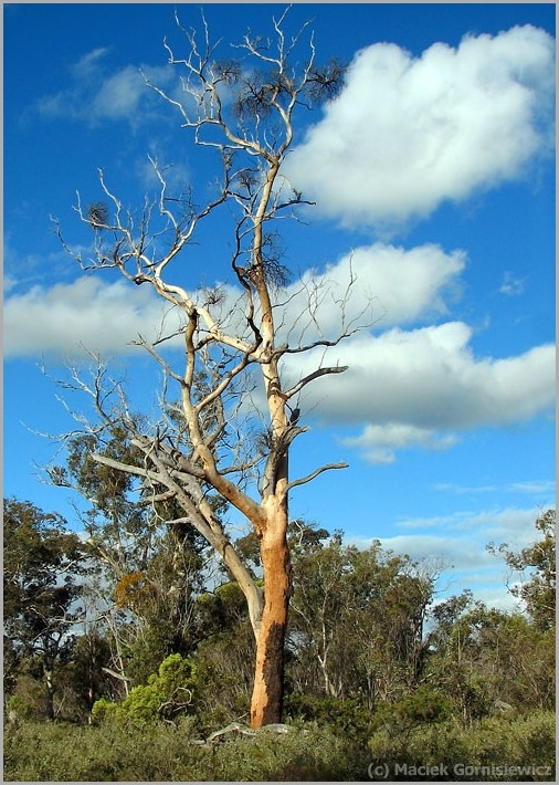 Tree in the Stirling Ranges