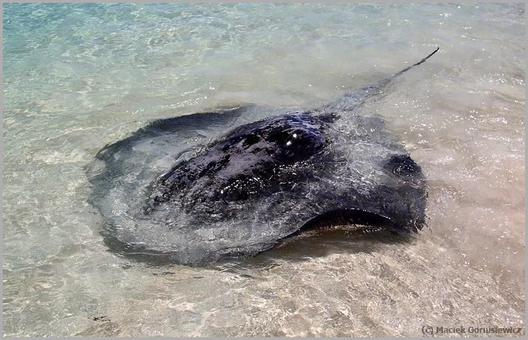 Stingray in Hamelin Bay