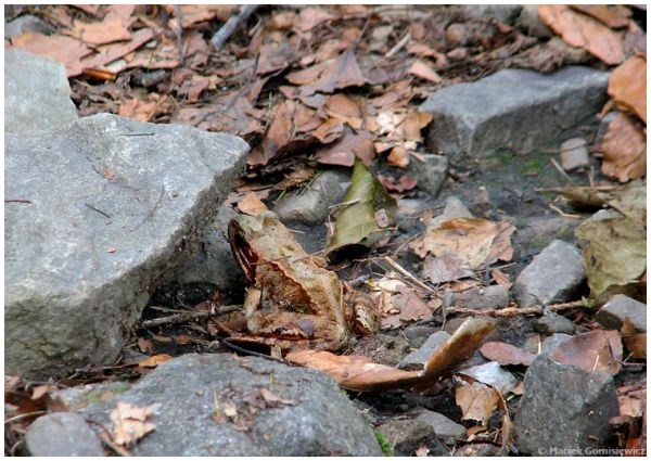 Spot the Frog II