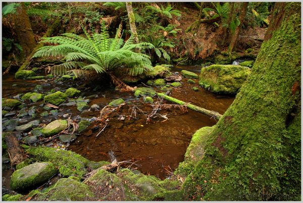 tasmanian rainforest
