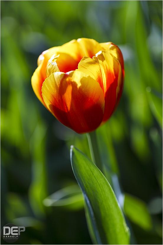 Araluen Tulips 2011