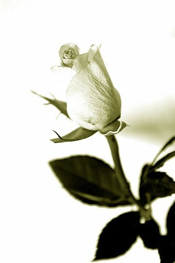 a birthday rose in black and white