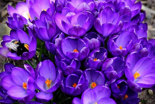 a group of blue crocuses with a bumble bee