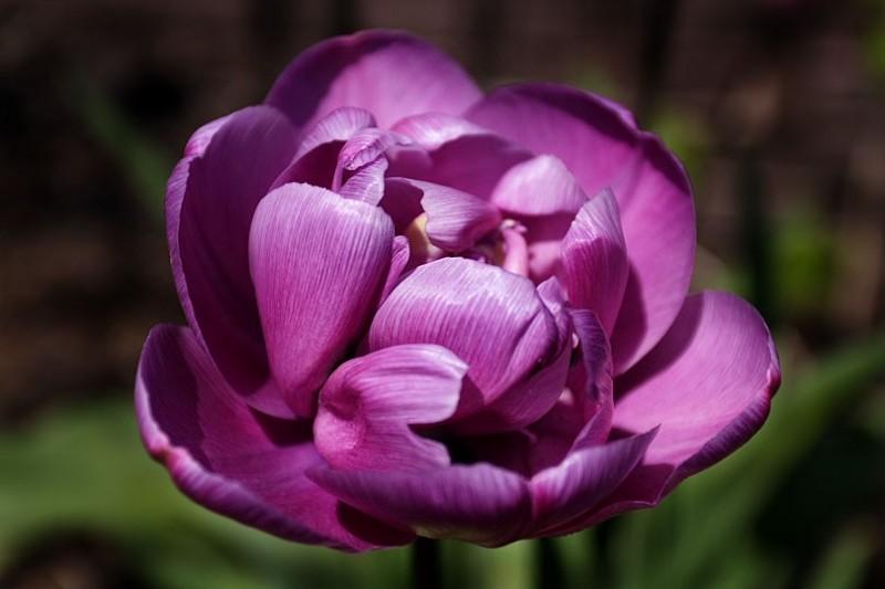 a purple diamond tulip