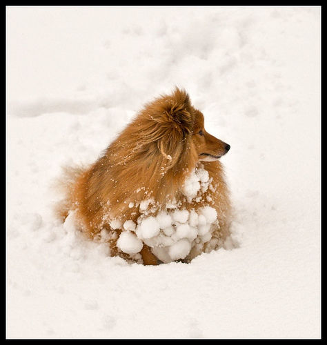a sheltie in the snow