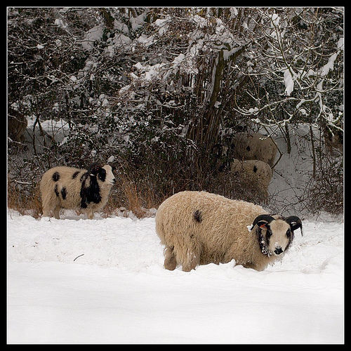 sheep in a snow field