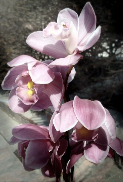 Sikkim Orchids (Image 28)