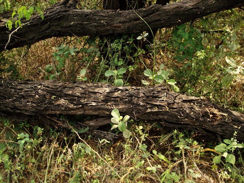 Fallen Tree at the Sultanpur Bird Sanctuary