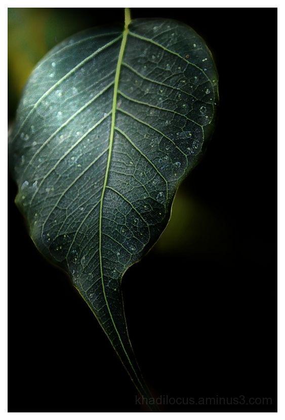 Pipal tree leaf
