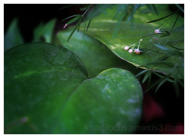 Asperagus flowers