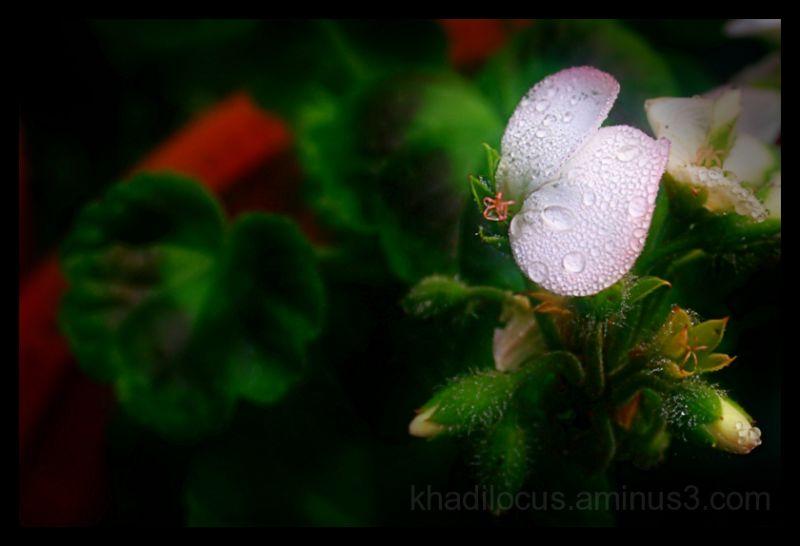 Dew on a Geranium