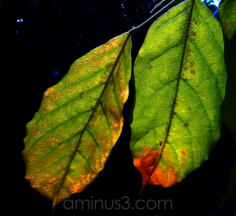 sunlight through leaf