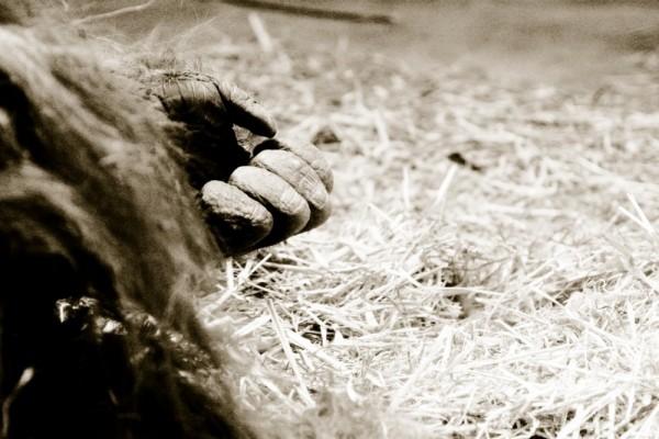 ape monkey hand