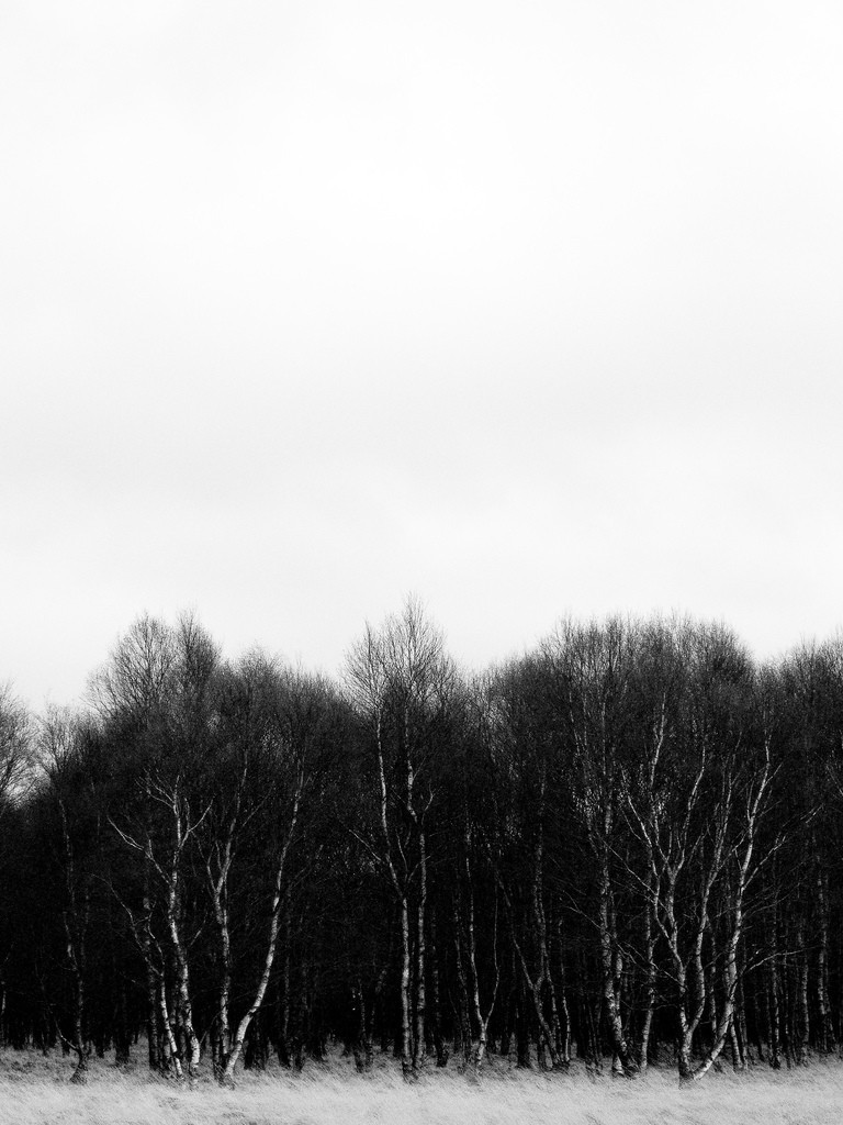 landscape, birch, tree