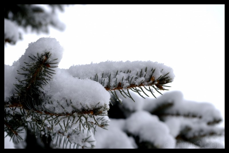 evergreen branches snow