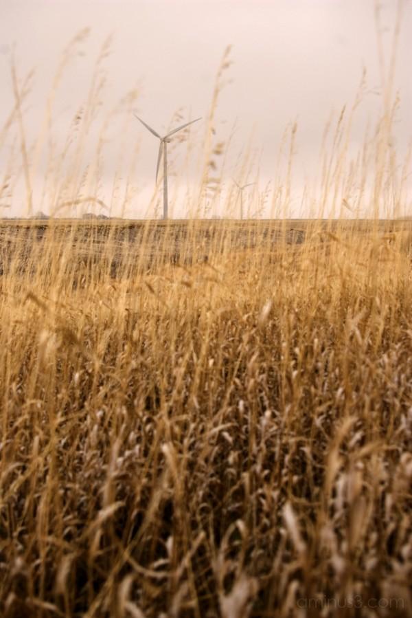 prairie windmill grass