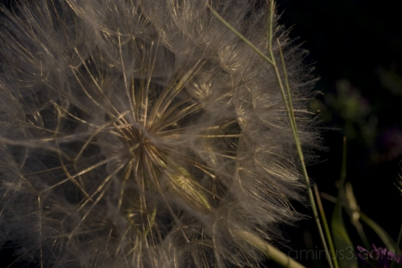 fluff seeds dandelion