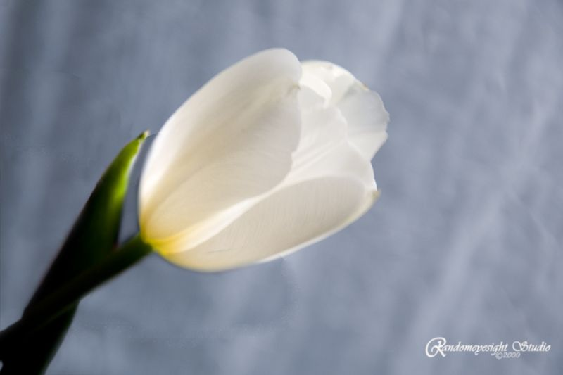 lighted tulip white