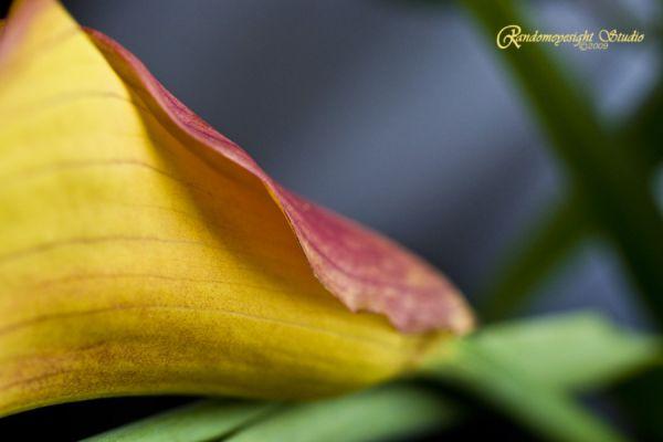 calla lily red yellow macro