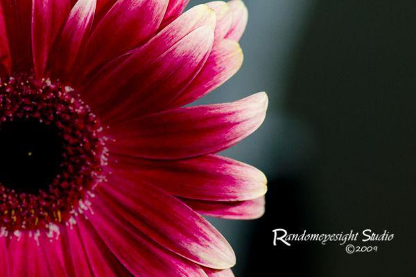 daisy gerber pink macro