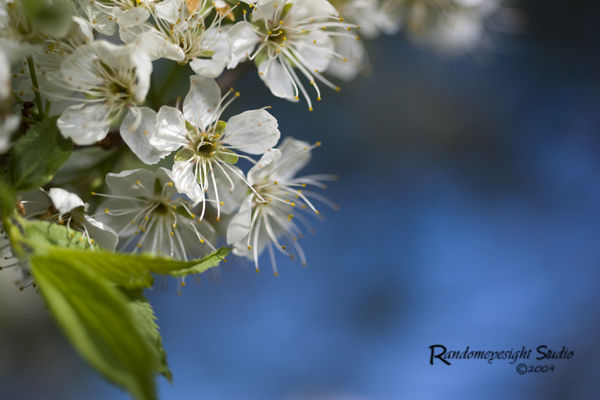 macro white flowers blue sky
