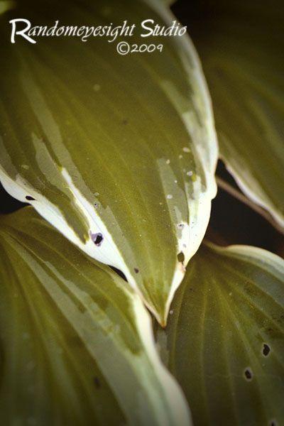 hosta leaves green white