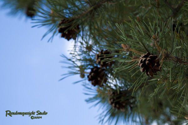 evergreen acorns blue sky