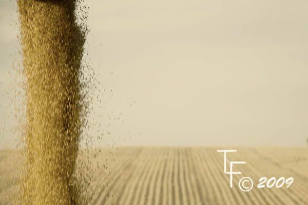 grain field blue sky wheat