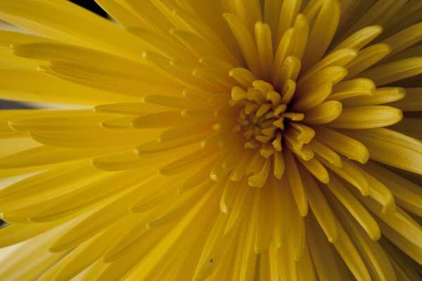spider mum yellow flower