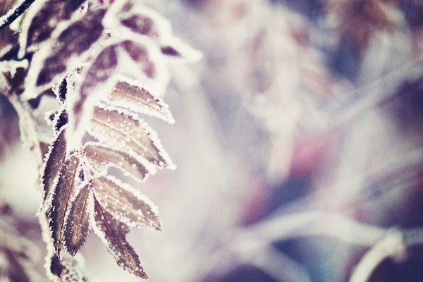 macro winter snow leaves