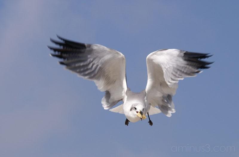 Seagulls 6