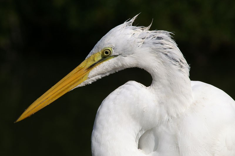 Great Egret 1