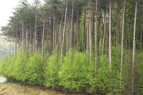 Merrill Creek Trees in Spring II