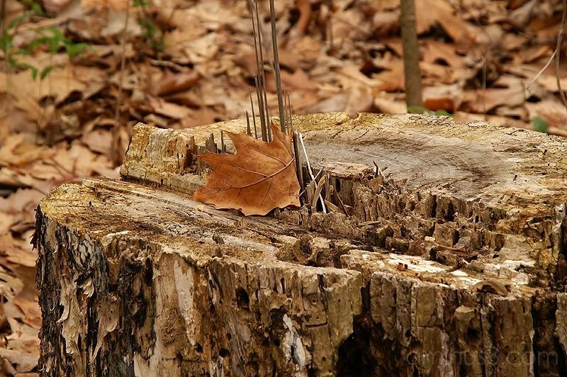 Tree Stump and Leaf