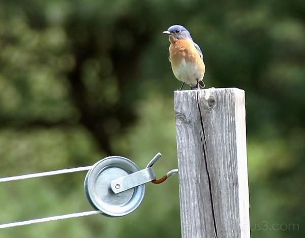 Bluebird II