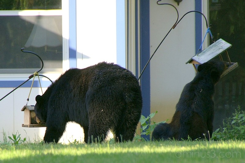 Neighborhood Bears