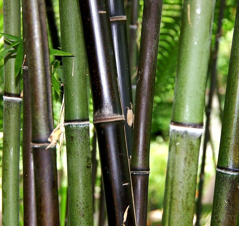 Longwood Gardens - Bamboo